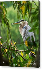 Acrylic Print featuring the photograph Great Blue Heron by Eva Kaufman