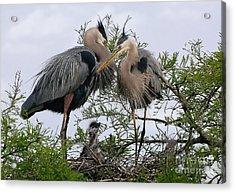 Great Blue Heron Family Acrylic Print by Kathy Baccari