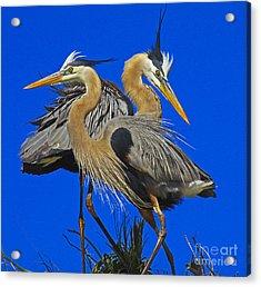 Great Blue Heron Family Acrylic Print