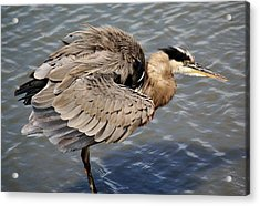 Great Blue Heron Feathers - # 24 Acrylic Print by Paulette Thomas
