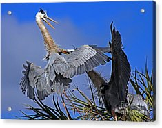 Acrylic Print featuring the photograph Great Blue Heron Fight  by Larry Nieland