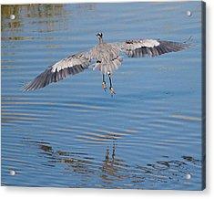 Great Blue Heron Flying Away Acrylic Print