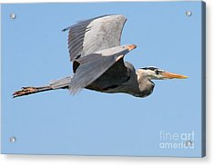 Acrylic Print featuring the photograph Great Blue Heron Flying by Bob and Jan Shriner
