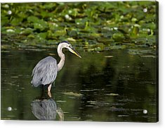 Great Blue Heron Hunting Acrylic Print by Larry Bohlin
