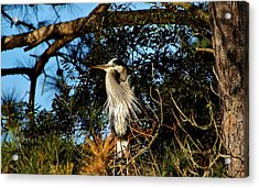 Great Blue Heron In A Tree - # 23 Acrylic Print by Paulette Thomas