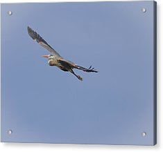 Great Blue Heron In Flight-2 Acrylic Print