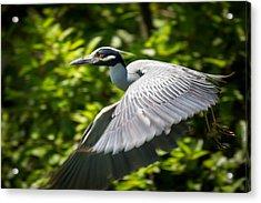 Great Blue Heron In Flight Acrylic Print