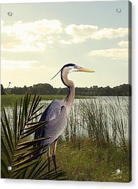 Great Blue Heron In The Bulrushes Acrylic Print by M Spadecaller