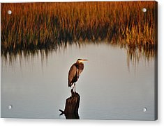 Great Blue Heron In The Marsh - # 20 Acrylic Print by Paulette Thomas