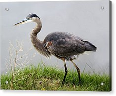 Great Blue Heron In The Marsh - # 5 Acrylic Print by Paulette Thomas