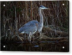 Great Blue Heron In The Marsh - #1 Acrylic Print by Paulette Thomas