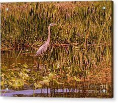 Great Blue Heron In The Swamp Acrylic Print