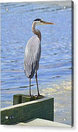 Great Blue Heron Acrylic Print by Judith Morris