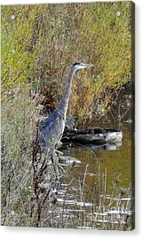 Acrylic Print featuring the photograph Great Blue Heron - Juvenile by Laurel Best