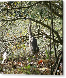 Acrylic Print featuring the photograph Great Blue Heron by Karen Silvestri