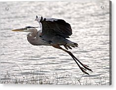 Great Blue Heron Landing Series 1 Acrylic Print