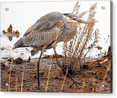 Great Blue Heron Acrylic Print by Linda  Barone