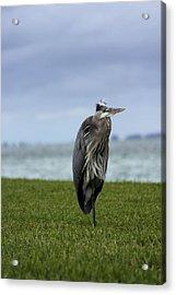 Great Blue Heron Acrylic Print by Marta Alfred