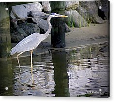 Great Blue Heron - Mealtime Acrylic Print by Brian Wallace