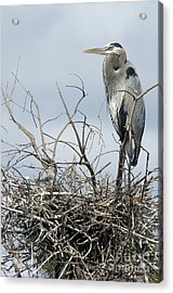 Great Blue Heron Nest With New Chicks Acrylic Print