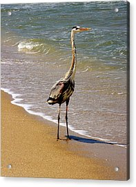 Great Blue Heron On The Surf. Acrylic Print
