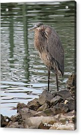 Acrylic Print featuring the photograph Great Blue Heron On Watch by Robert Banach
