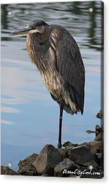 Acrylic Print featuring the photograph Great Blue Heron One Legged Stance by Robert Banach