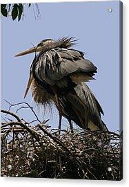 Great Blue Heron Pair Acrylic Print by David Lynch