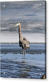 Great Blue Heron Portrait Acrylic Print by Jill Bell