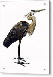 Great Blue Heron Acrylic Print by Rachel Root