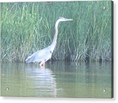 Great Blue Heron Reflecting Acrylic Print by Debbie Nester