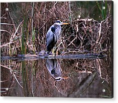 Great Blue Heron Reflecting Acrylic Print by Gene Chauvin