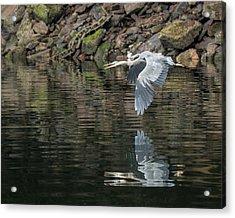 Great Blue Heron Reflections Acrylic Print by Jennifer Casey