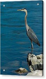 Great Blue Heron Acrylic Print by Sebastian Musial