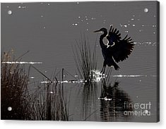 Great Blue Heron Silhouette Acrylic Print by Sharon Talson