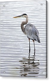 Great Blue Heron Standing In Water Acrylic Print
