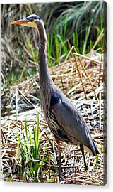 Great Blue Heron Standing Tall Acrylic Print by Terry Elniski