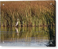 Great Blue Heron Acrylic Print by Steven Ralser