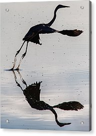 Great Blue Heron Takeoff Acrylic Print by John Daly