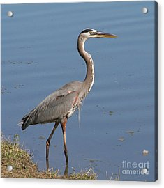 Acrylic Print featuring the photograph Great Blue Heron Wading by Bob and Jan Shriner