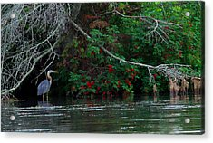 Great Blue Heron Wading Acrylic Print by James Hammen