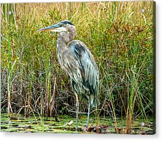 Great Blue Heron Waiting For Supper Acrylic Print by Eti Reid
