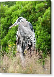 Great Blue Heron Watching And Waiting Acrylic Print