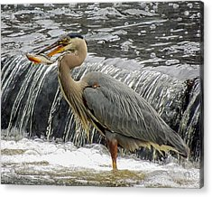 Great Blue Heron With Fish Acrylic Print