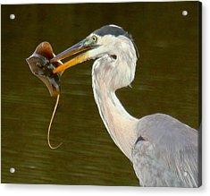 Great Blue Heron With Stingray Acrylic Print by Myrna Bradshaw