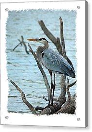 Great Blue Heron Acrylic Print by Wynn Davis-Shanks