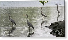 Great Blue Herons Acrylic Print by Bob and Jan Shriner