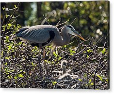 Great Blue Herons Acrylic Print