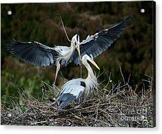 Great Blue Herons Nesting Acrylic Print