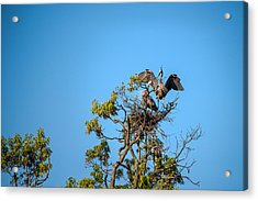 Great Blue Herons-the Handoff Acrylic Print